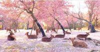 Deer in Japanese woodland