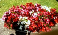 1 pot of beautiful bright begonias!