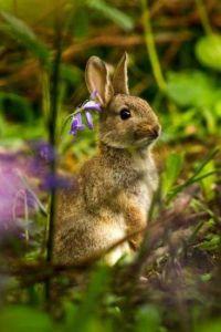 Rabbit in the bluebells