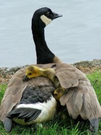 Canadian Goose with Duckings on Her Back