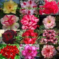 Adenium-obesum-sis  in various colors☺