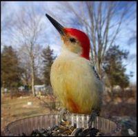 ~Canadian - Red Bellied Woodpecker~