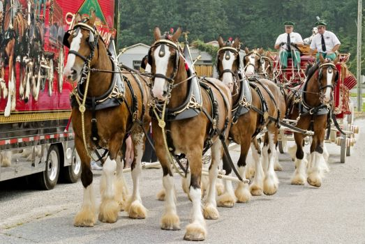 Famous Anheuser-Busch Clydesdales - 2