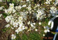kvetoucí trnka - flowering blackthorn