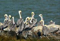 pelicans (3) Theme birds