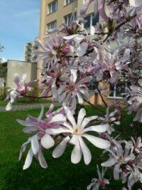 Šácholan hvězdovitý ,Magnolia stellata