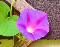 You have to get up before noon to see Morning Glories.