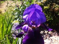 Prettiest Purple Ever -- Iris