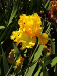 Sunshine Yellow Iris