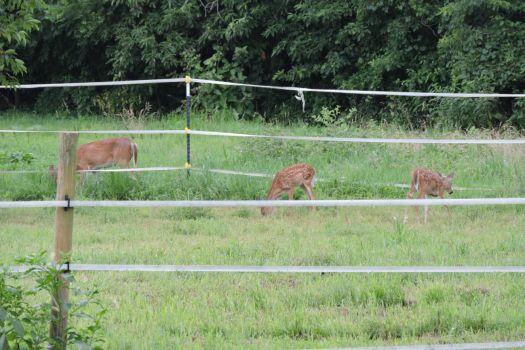 DSCN0076 deer in horse paddock