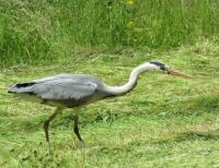 hunting great blue heron (grote blauwe reiger)