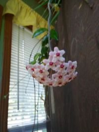 My Hoya from years past. Still have it but it hasn't bloomed in several years