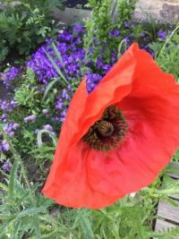 Bluebells, poppy and whatnot