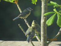 The Bluetit family.
