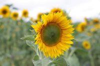 Emily's sunflower