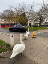 Swans crossing the road