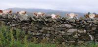 Coos(cows) at Castlerigg in Cumbria