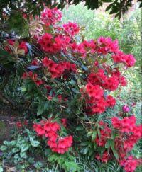 Rhododendron - Scottish Highlands