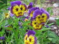 pansies for the granddaughters