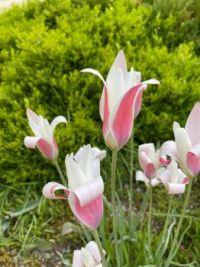 pink and white tulips, New York Botanical Garden