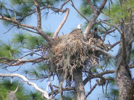 "THEME: ""Birds"" Bald Eagle & Nest - at local cemetery (can go to 540)"