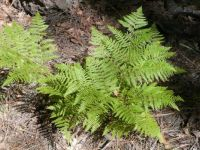 Ferns in Flagstaff AZ