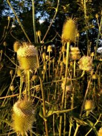 teasles in the golden hour--challenging