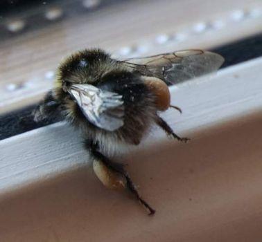 Bumblebee #1