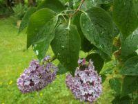 Lilacs in the rain