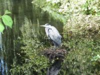 Heron on an 'abandoned' nest.