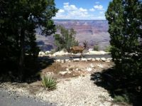 Mule Deer at the Grand Canyon