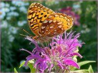 Butterfly on Purple Bee Balm