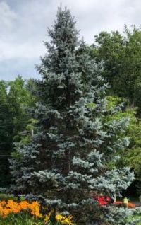 A blue spruce