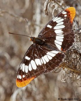 Lorquin's Admiral at the marsh
