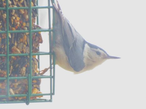 Nuthatch on Seed Block