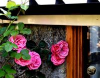 Roses by the garage