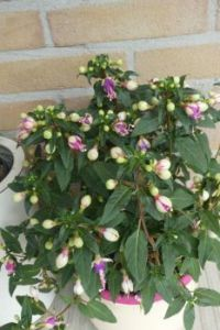 Budding Fuchsia
