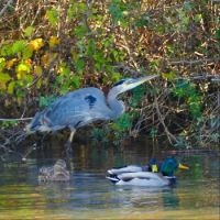 Great Blue Heron with mallards at ponds