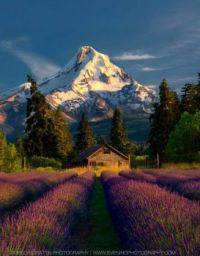 Mt Hood Lavender Fields