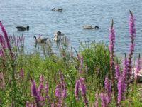 Geese at Macinaw Island