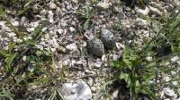 Large - Killdeer eggs - They like to lay them on my gravel road!
