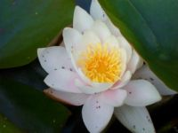 Water Lily, Logan Gardens