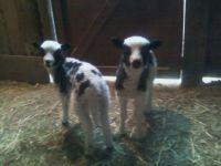 Billy & Betty - twins.  Jacob Sheep