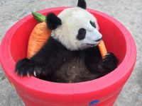 Panda Kicks Back with a Carrot