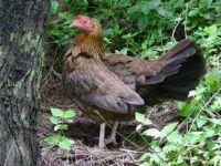 Chicken for Dinner? Oh No!!! RUN!!! (Hawaii)