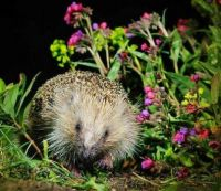 HEDGEHOG NIGHT AT  IN THE  UK.
