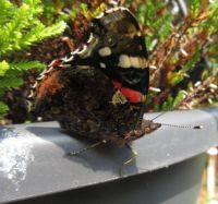 Red Admiral Butterfly or Atalanta in my garden