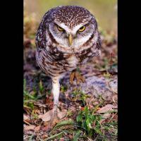 Stalking Owl