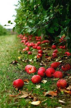 Rode appeltjes