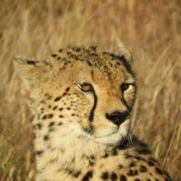 cheetah close